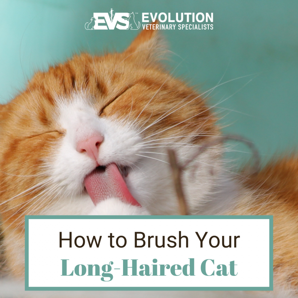 How to Brush Your Long-Haired Cat
